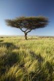 Wspina się Kenja i samotnego Akacjowego drzewa przy Lewa Conservancy, Kenja, Afryka Fotografia Stock