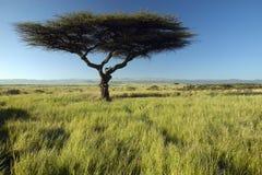 Wspina się Kenja i samotnego Akacjowego drzewa przy Lewa Conservancy, Kenja, Afryka Zdjęcie Stock