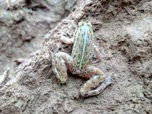 Wspinaczkowa żaba Obrazy Royalty Free
