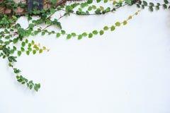 Wspinaczkowa figi cierpni?cia figa, Ficus pumila, odrewnia?y wiecznozielony winograd, pn?cego lub vining przyzwyczajenie, u?ywa?  fotografia stock
