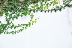 Wspinaczkowa figi cierpni?cia figa, Ficus pumila, odrewnia?y wiecznozielony winograd, pn?cego lub vining przyzwyczajenie, u?ywa?  zdjęcia royalty free