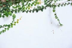 Wspinaczkowa figi cierpni?cia figa, Ficus pumila, odrewnia?y wiecznozielony winograd, pn?cego lub vining przyzwyczajenie, u?ywa?  zdjęcie royalty free