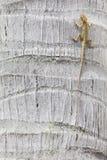 Wspinaczkowa jaszczurka Zdjęcie Stock