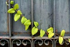 Wspinaczkowa roślina metal brama zdjęcie stock