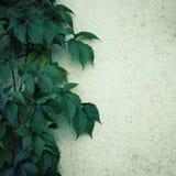 Wspinaczkowa roślina na białej ścianie Tekst rama Zdjęcia Stock