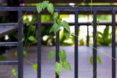 Wspinaczkowa roślina na czarnym stali ogrodzeniu wspinaczkowa roślina jest zielona Ja jaskrawy z czarnej rośliny od up Zdjęcia Stock