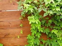 Wspinaczkowa roślina na drewnianym ogrodzeniu Fotografia Stock
