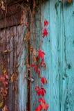 Wspinaczkowa roślina na starym drzwi Zdjęcia Stock