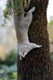 wspinaczkowa wiewiórka Obrazy Royalty Free