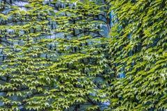 Wspinaczkowa zielona roślina Obrazy Stock