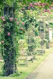wspinaczkowe róże zdjęcie stock