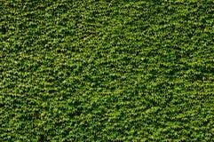 wspinaczkowe tło rośliny Zdjęcia Royalty Free