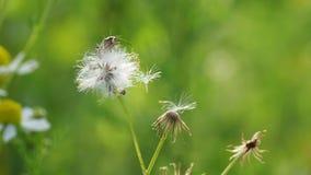 Wspinaczkowy ścigi i pollen taniec w wiatrze zbiory