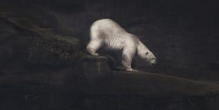 Wspinaczkowy niedźwiedź polarny fotografia royalty free