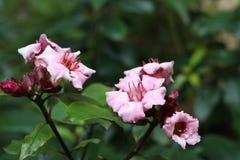 Wspinaczkowy oleander, Kremowa owoc obraz royalty free