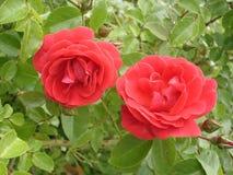 Wspinaczkowych róż kwiatów czerwony Flammentanz' Obrazy Stock