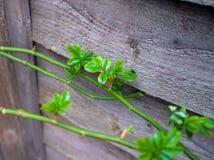Wspinający się róży gałąź nabijającą ćwiekami z zielenią kiełkuje w wiośnie zdjęcia royalty free