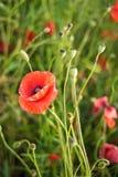 Wspominanie dzie?, Anzac dzie?, spokoju Opiumowy maczek, botaniczna ro?lina, ekologia Makowy kwiatu pole, zbiera Lato i wiosna, zdjęcie royalty free