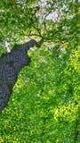 Wstępujący drzewny bagażnik Fotografia Royalty Free