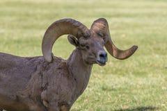 Wüsten-Bighorn Ram Lizenzfreies Stockfoto