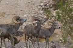 Wüsten-Bighorn-RAMs in der Furche Stockfotografie