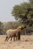 Wüsten-Elefanten Stockfotos