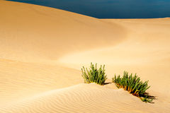 Wüstenpflanze Stockfotografie