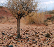 Wüstenstrauch Stockfotos