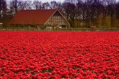 wszędzie czerwoni tulipany Obrazy Royalty Free