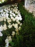 Wszystkie biali kwiaty Obraz Royalty Free