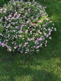 Wszystkie kwiatonośny Bush obrazy royalty free