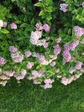 Wszystkie kwiatonośny Bush obraz stock