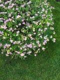 Wszystkie kwiatonośny Bush fotografia stock