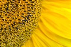 wszystkie terenów duży szczegółu pełny wizerunek pełny patrzejący brać ziarno nie słonecznika był Zdjęcie Stock