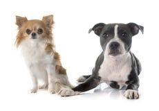 Wto puppies Stock Photos