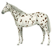 Appaloosa leopard Stock Images