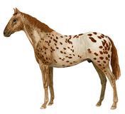 Appaloosa stained Royalty Free Stock Photo