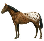 Appaloosa stained 1 Stock Photos