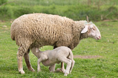 Wuerttemberg sheep Royalty Free Stock Photography