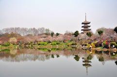 Wuhan, jardin de fleur de cerise Photos libres de droits