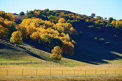 The golden silver birch on the hill Royalty Free Stock Photos