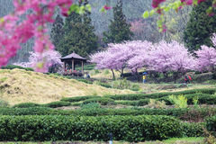 Wuling czereśniowego okwitnięcia Rolny sezon, Nantou, Tajwan Obrazy Royalty Free