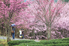 Wuling Farm cherry blossom season, Nantou, Taiwan Royalty Free Stock Photo