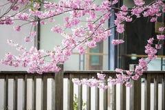 Wuling Farm cherry blossom season, Nantou, Taiwan Stock Image