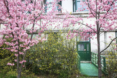 Wuling Farm cherry blossom season, Nantou, Taiwan Royalty Free Stock Images