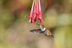 Wulkanu Hummingbird - Selasphorus flammula Obraz Royalty Free