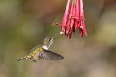 Wulkanu Hummingbird - Selasphorus flammula Zdjęcia Royalty Free