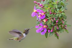 Wulkanu Hummingbird - Selasphorus flammula Zdjęcie Royalty Free