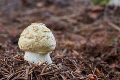 Wulstling citrina Pilz in der natürlichen Umwelt Stockbild