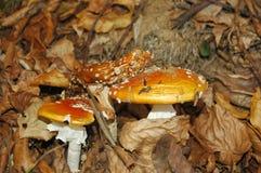 Wulstling muscaria Stockbild